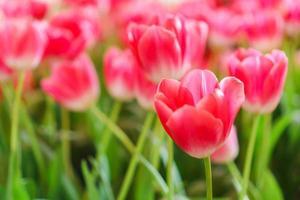 hermosos tulipanes rojos, fondo de flores foto