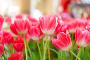 Beautiful Red Tulips, Flower background photo