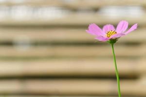 hermosa flor cosmos foto
