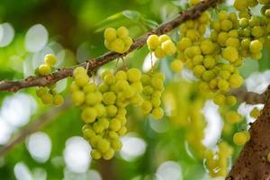 Star gooseberry fruit on tree photo