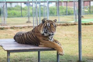 Tiger in the zoo photo