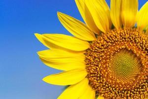 Close-up of Beautiful sunflower blossom on blue sky photo