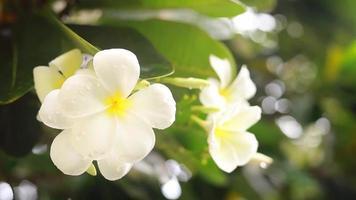 gouttes de pluie tombant sur des fleurs de plumeria blanches video