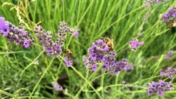 A bee eats nectar on a flower video
