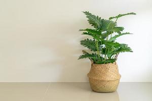 Philodendron xanadu croat in wicker basket pot photo