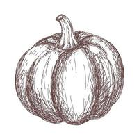 Sketch of pumpkin contour drawing isolated on white background vector