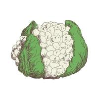 Sketch of cauliflower contour drawing isolated on white background vector