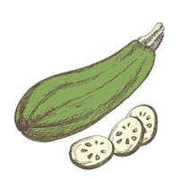 Sketch of zucchini contour drawing isolated on white background vector