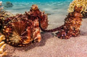 Octopus king of camouflage in the Red Sea, Eilat Israel photo