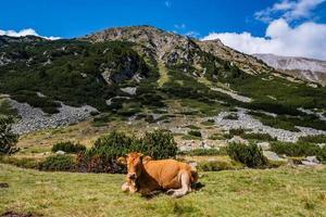 una vaca en las montañas foto