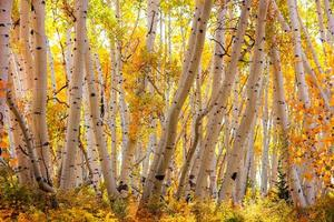 Back lit Aspen trees in rural Colorado during autumn time photo