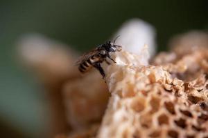 abeja obrera en su colmena en la naturaleza foto