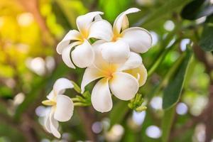 Flores de plumeria sobre fondo bokeh foto