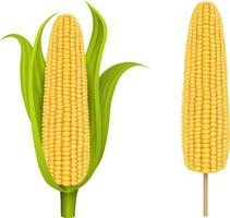 isolated corn cob with leaves and corn cob on the stick vector