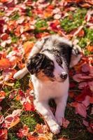 Retrato de perro pastor australiano tricolor sentado en el césped de un parque público en una tarde de otoño foto