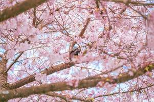 Retrato de una ardilla alimentándose entre las ramas del cerezo foto