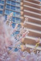 Blurred portrait of the branches of a cherry tree in spring photo