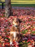 Portrait brown Australian shepherd dog with heterochromia and blue choler on neck, looking up, on an autumn afternoon in public park photo