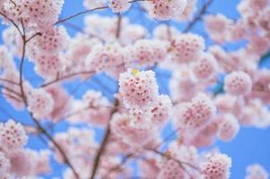 Blurred portrait of branches of a cherry in spring photo