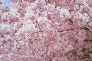 Blurred portrait of a cherry blossoms in spring photo