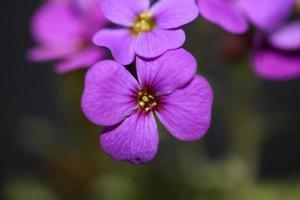 Purple blossom Aubrieta deltoidea family Brasicaceae purple flowering photo