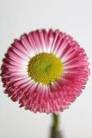 Flower blossom Bellis perennis L. family compositae modern background photo