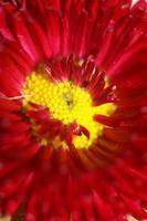 Flower blossom close up Bellis perennis L. family compositae modern photo