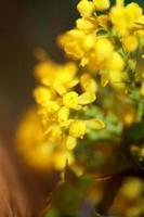 Flor de la flor Berberis aquifolium familia Berberidaceae cerrar imprimir foto