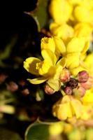 Flor amarilla Berberis aquifolium familia Berberidaceae closeup foto
