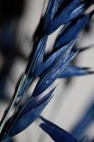 Decoration wheat colored in blue botanical shoot triticum aestivum photo