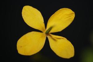 flor flor cerrar chelidonium majus familia papaveraceae foto