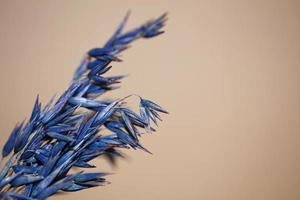 Dry decoration wheat colored in blue triticum aestivum family poaceae photo