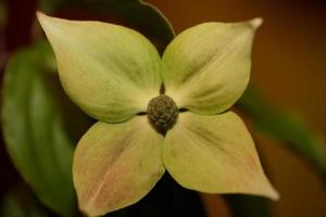Flor flor cerrar cornus kousa familia cornaceae macro botánica foto
