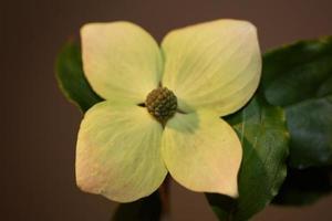 flor floreciente macro cornus kousa familia cornaceae botánico moderno foto