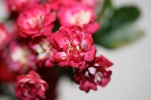 Flower blossom close up Crataegus laevigata family rosaceae botanicaly photo