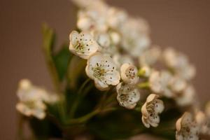 Flower blossom close up Crataegus monogyna family rosaceae botanicaly photo