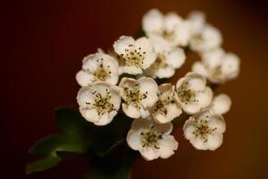 Flower blossom close up in Crataegus monogyna family rosaceae macro photo
