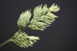 flor de cerca fondo moderno dactylis glomerata familia poaceae foto