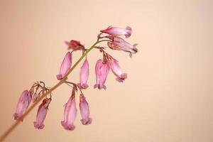 flor, flor, cicatrizarse, dicentra, formosa, familia, papaveraceae foto