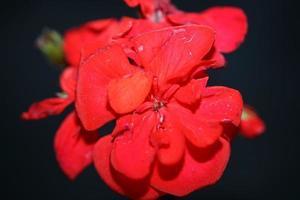 Geranium flower close up family geraniaceae background botanical print photo