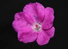 Flower blossom close up background geranium photo