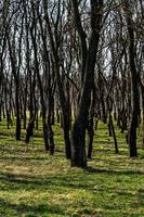 Tree trunks in a dense forest, way through rows of trees. photo