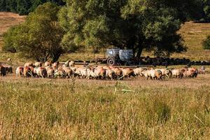 A lot of sheep grazing on dry field on sunny day. photo