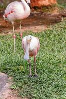 A spoonbill perched on a green lawn in Santa Catarina photo