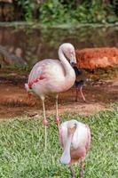 Flamingo on a green lawn in Santa Catarina photo