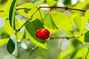 fruta pitanga muy apreciada y consumida en brasil. foto