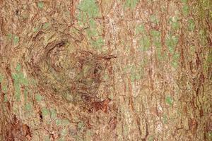 textura de corteza de árbol para el fondo foto