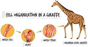 Diagram showing cell organization in a giraffe vector