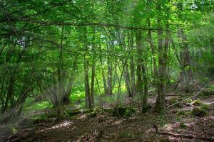 rayos de sol que entran a través de los árboles en un bosque encantado foto