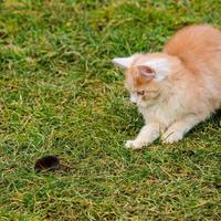 Ginger and white kitten with its prey of a mouse photo